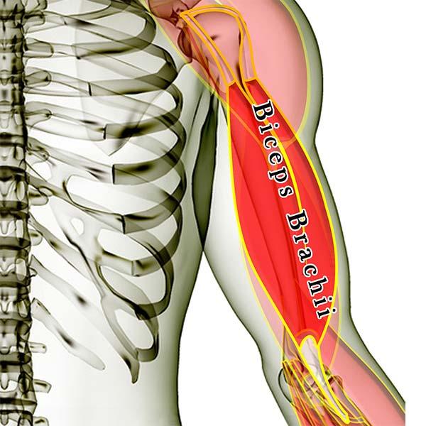 biceps brachii -- 2016