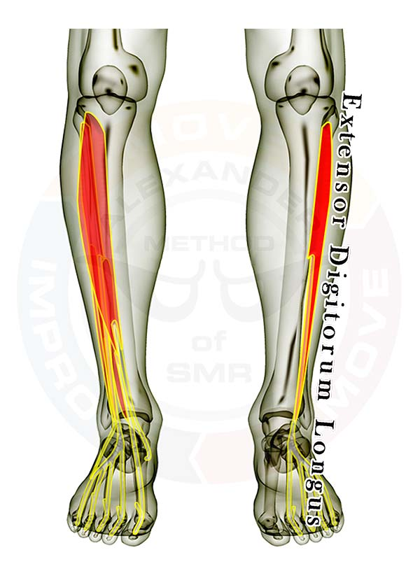extensor digitorum longus, Human Body