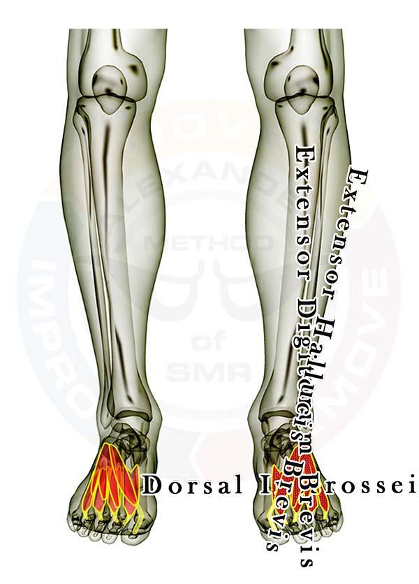 Foot anatomy pain